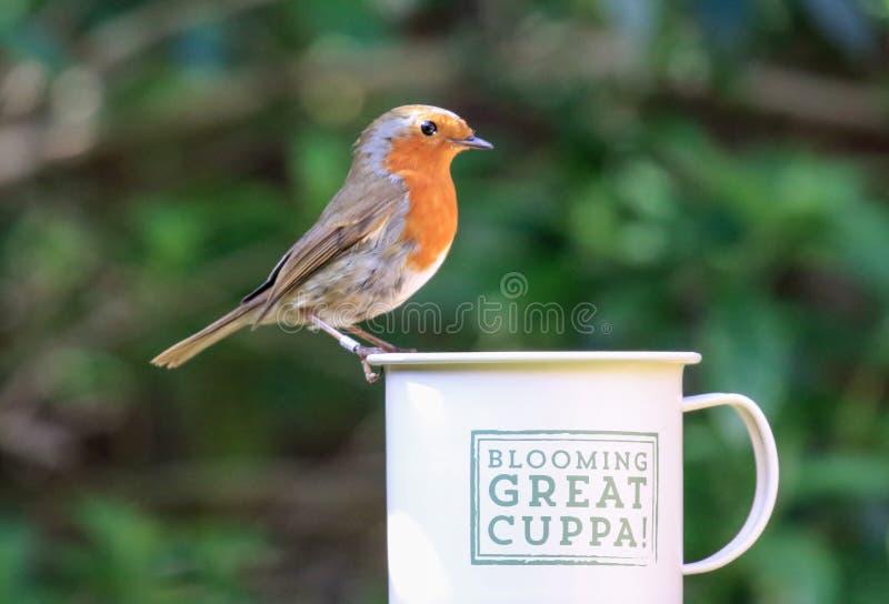 Робин сидело на чашке стоковые изображения