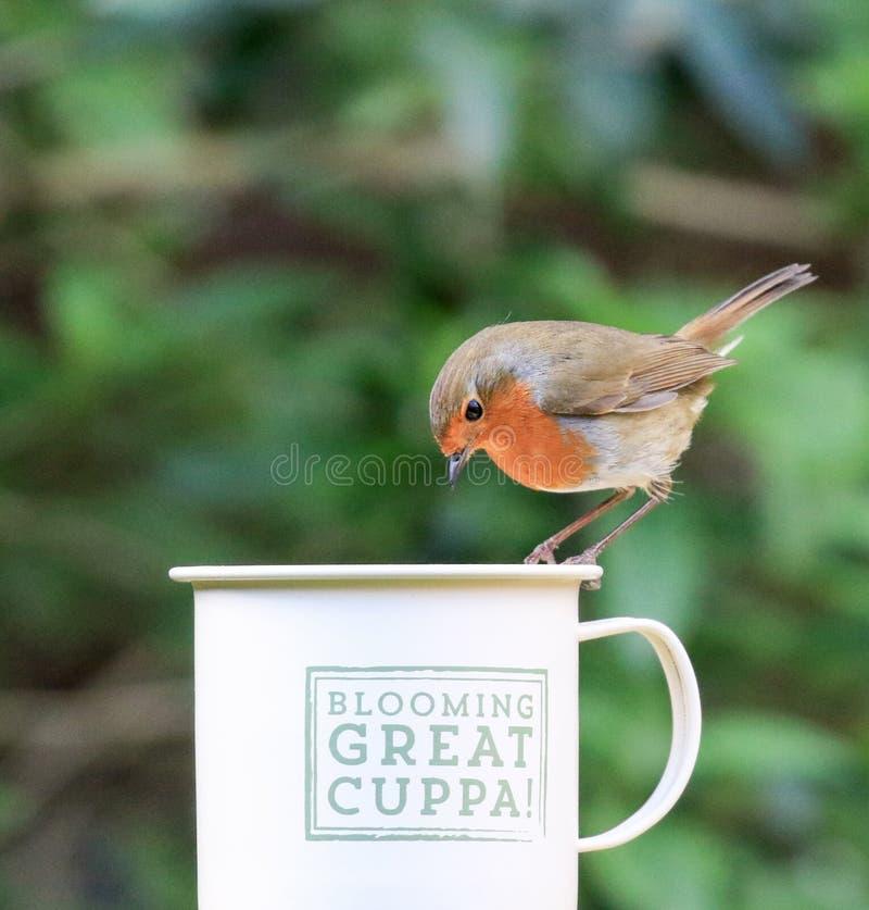 Робин сидело на чашке стоковые фотографии rf