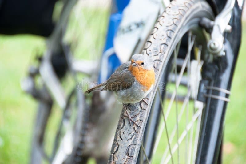 Робин сидя на колесе велосипеда стоковое изображение rf