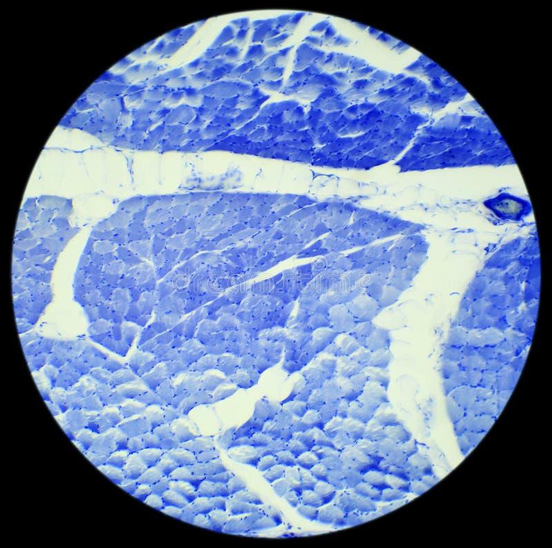 Ровная мышца задразнила подготовку под микроскопом, ровное Musc стоковое фото rf