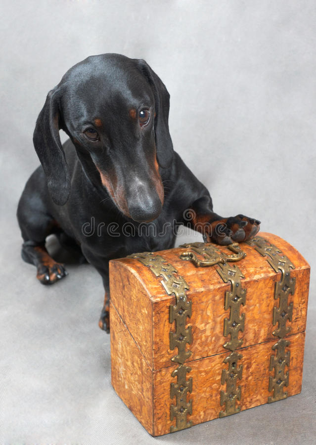 Ровная черная и tan такса с покрытым металл деревянным винтажным ларцом стоковые изображения rf