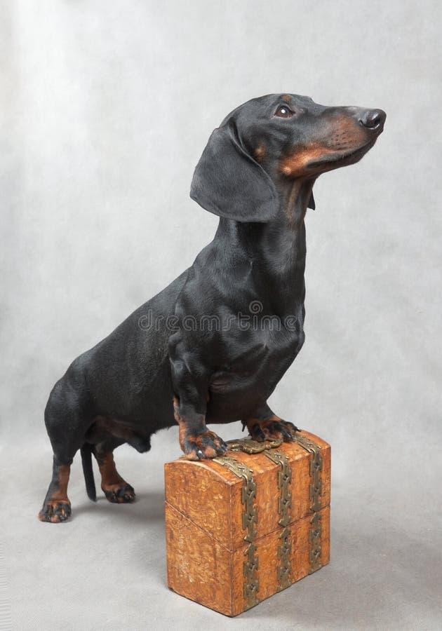 Ровная черная и tan такса с покрытым металл деревянным винтажным ларцом стоковое изображение