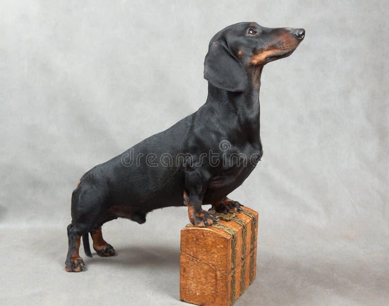 Ровная черная и tan такса с покрытым металл деревянным винтажным ларцом стоковая фотография