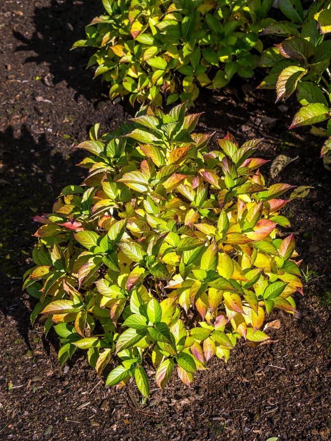 Ровные листья гортензии во времени падения стоковое изображение rf