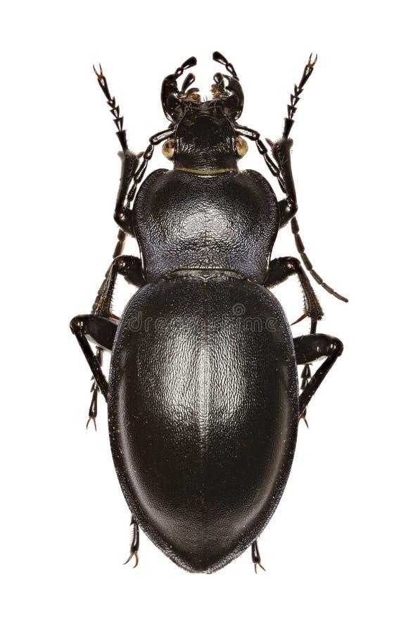 Ровный земной жук на белой предпосылке стоковые фотографии rf