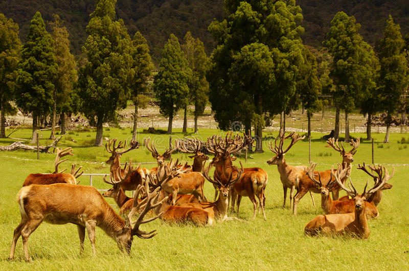Рогачи красных оленей в бархате стоковое фото