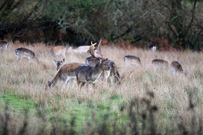 Рогач в траве, новый лес Великобритания стоковые фотографии rf