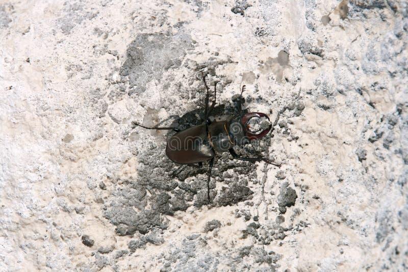 рогач европейца жука стоковое изображение rf
