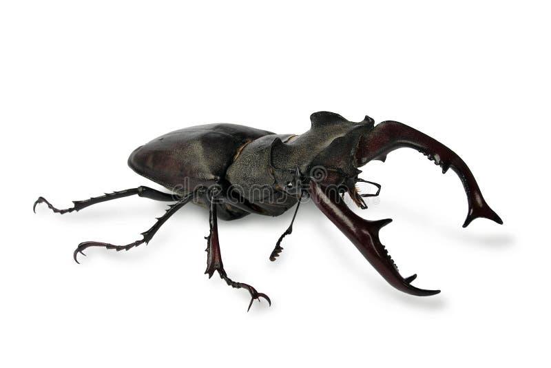 рогач жука стоковое фото rf