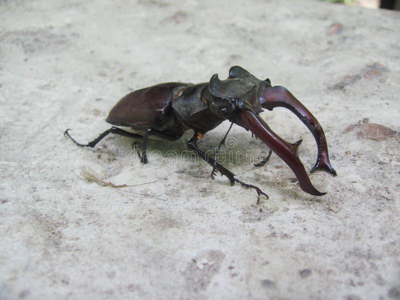 Рогач-жук, точный образец на серой предпосылке стоковое фото
