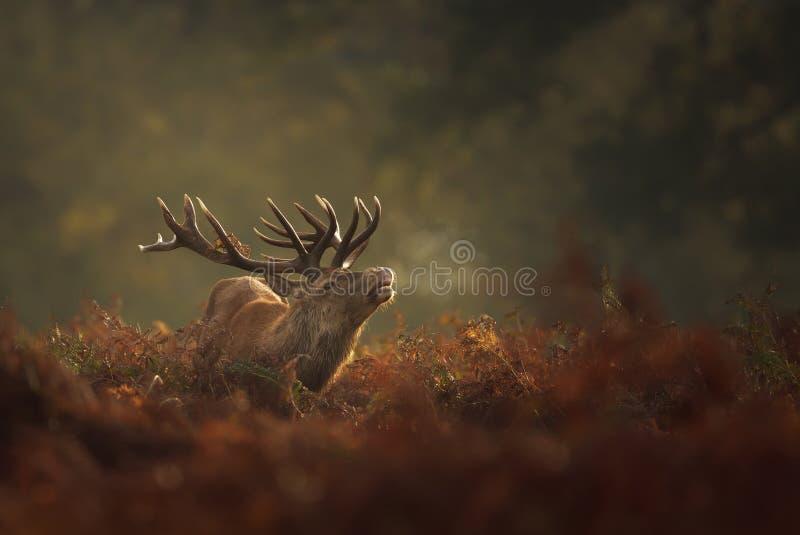 Рогач красных оленей во время прокладывать борозды сезон с дыханием конденсируя на туманном утре осени стоковая фотография