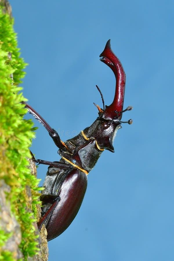 рогач lucanus cervus жука стоковая фотография