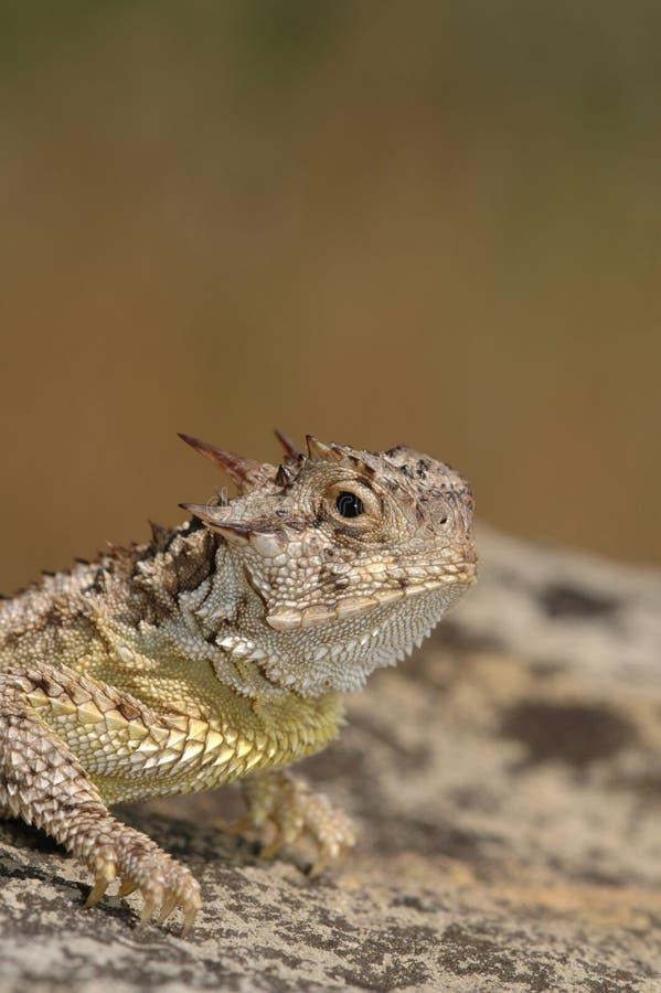 роговая жаба стоковое фото rf