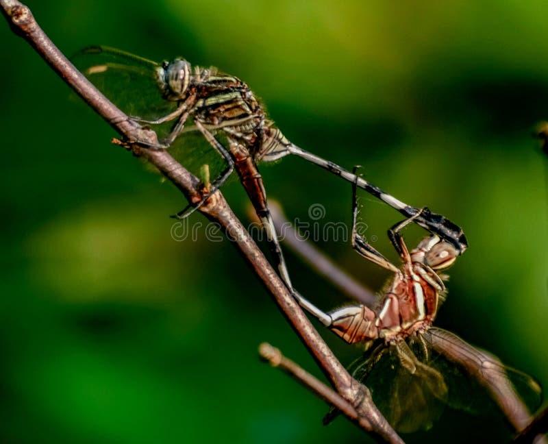 Рогожка Dragonflies на дереве стоковое фото