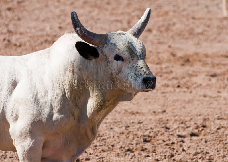 родео быка стоковое фото rf