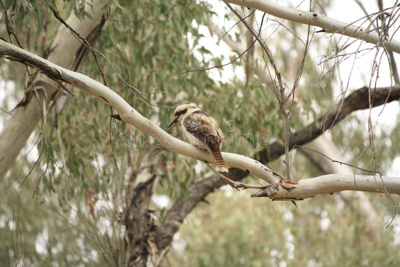 Родной австралиец Kookaburras в лесе gumtrees стоковые фото