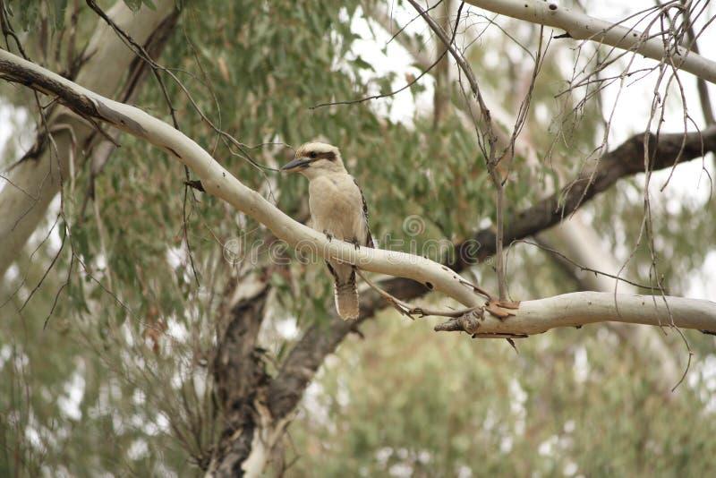 Родной австралиец Kookaburras в лесе gumtrees стоковые фотографии rf