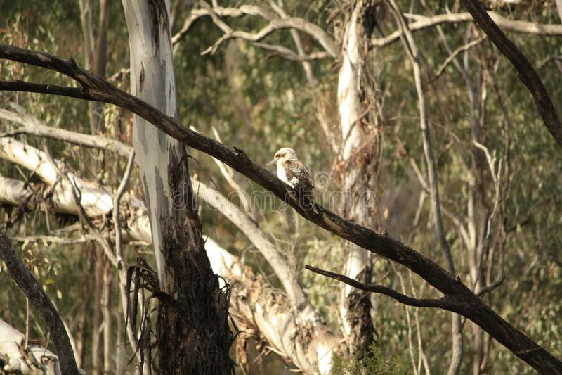 Родной австралиец Kookaburras в лесе gumtrees стоковое фото