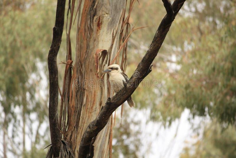 Родной австралиец Kookaburras в лесе gumtrees стоковое изображение rf