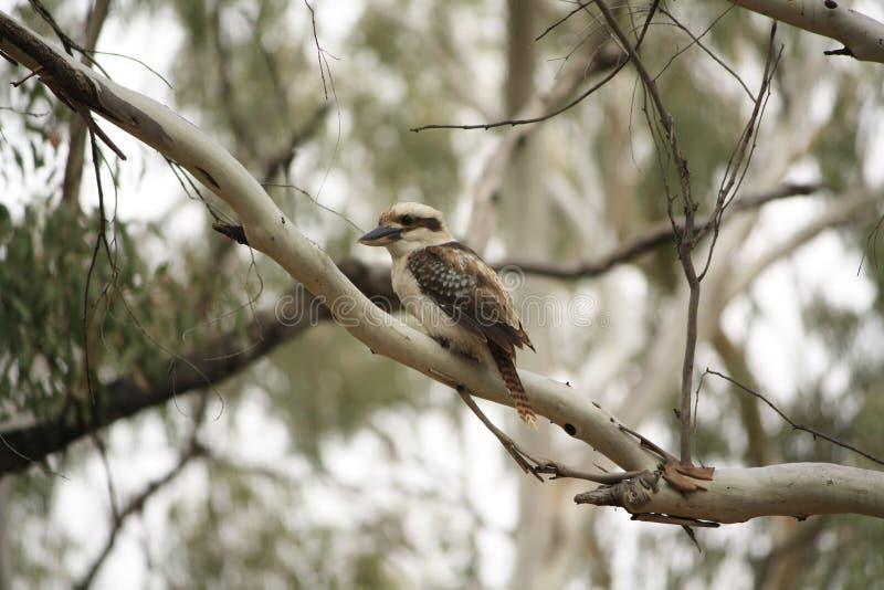 Родной австралиец Kookaburras в лесе gumtrees стоковые изображения rf