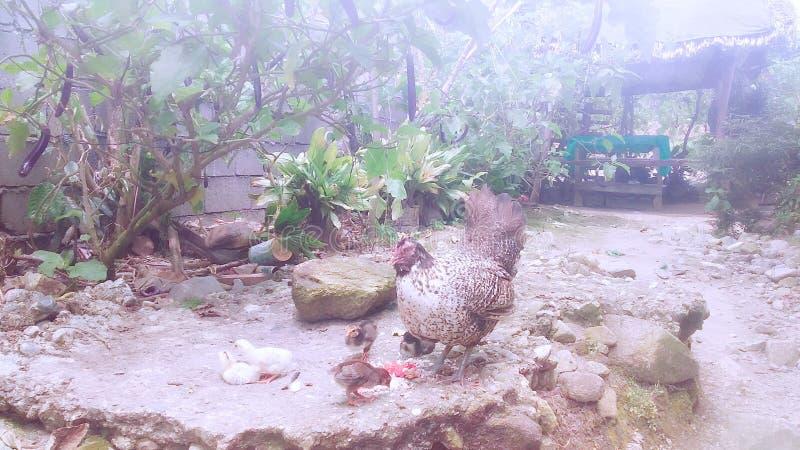 Родной цыпленок стоковые фотографии rf