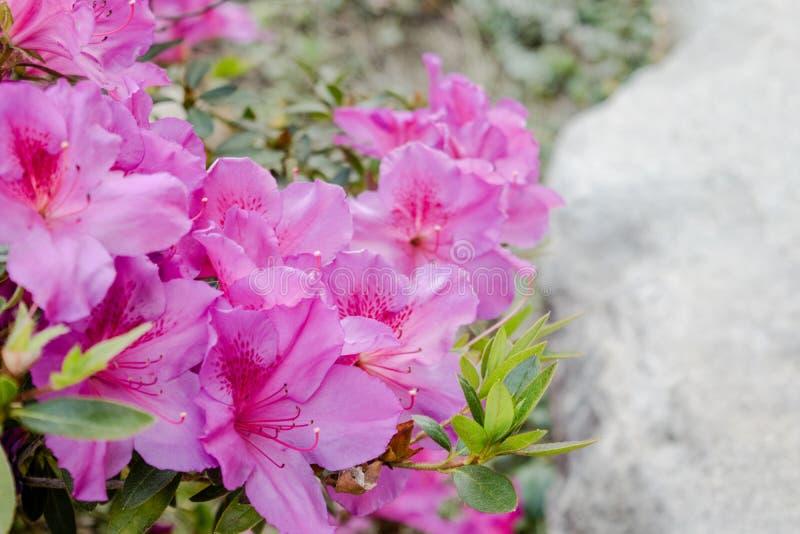 рододендрон цветков розовый стоковое фото rf