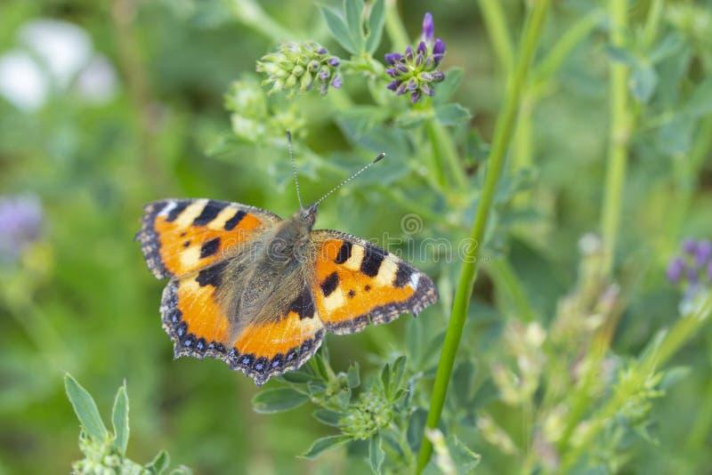 Род нимфалиды urticae многоцветницы семьи Aglais Апельсин Tortoiseshell бабочки небольшой с черными пылинками Бабочка в природе в стоковое фото
