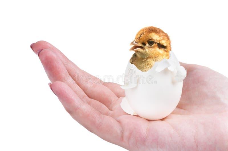 рожденный цыпленок новый стоковые фотографии rf