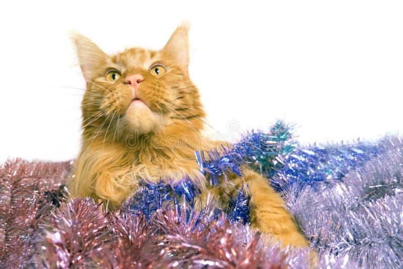 Рождественская красная мраморная кошка Мэна лежит в многоцветной мелодии поздравительная открытка с котом с копировальным простра стоковые фотографии rf