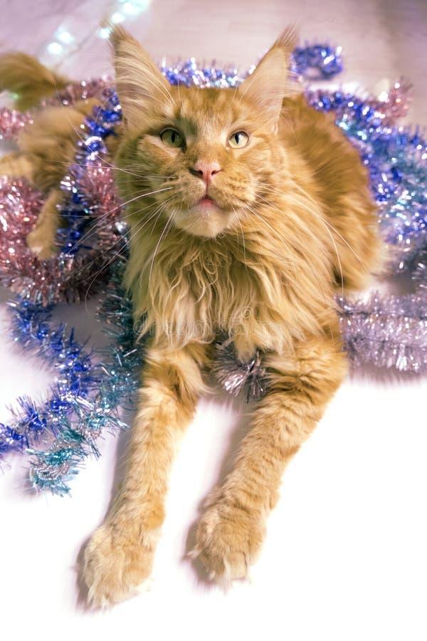 Рождественская красная мраморная кошка Мэна лежит в многоцветной мелодии поздравительная открытка с котом на белом, изолированном стоковое фото rf