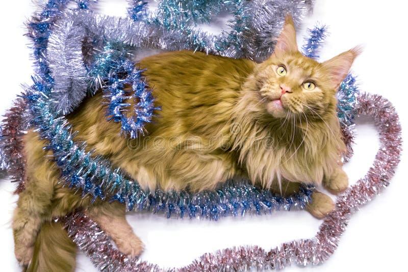 Рождественская красная мраморная кошка Мэна лежит в многоцветной мелодии поздравительная открытка с котом на белом, изолированном стоковое изображение rf