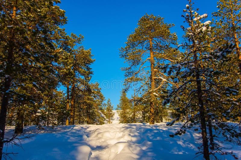Рождество в coniferous лесе стоковые фотографии rf