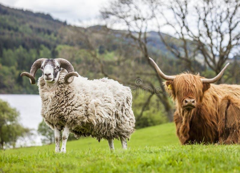Рожки и рожки - овцы и скотины, Шотландия стоковое изображение