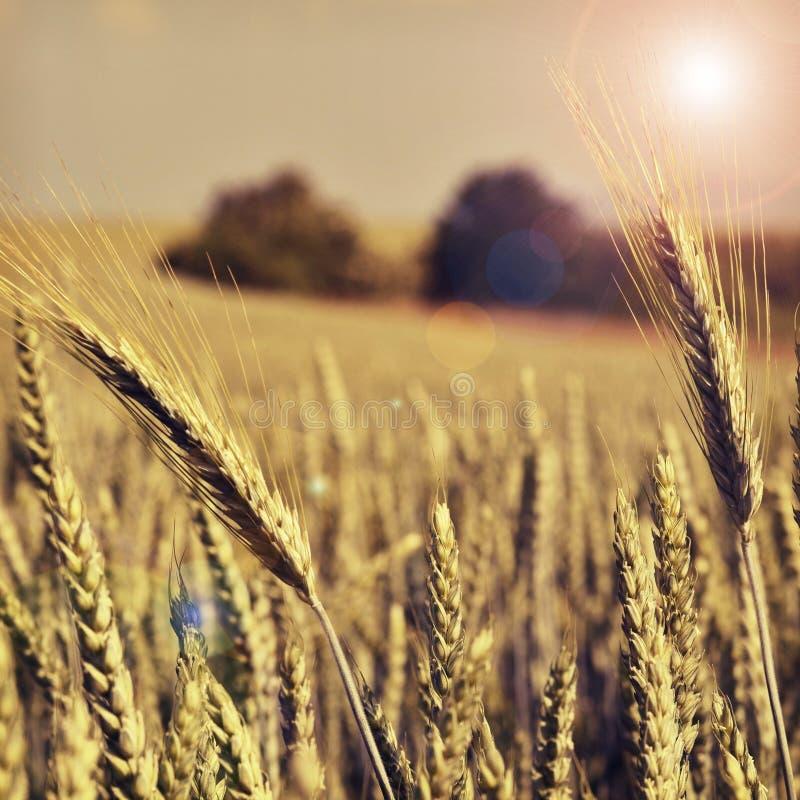 рожь поля заполненная с солнцем стоковые фотографии rf