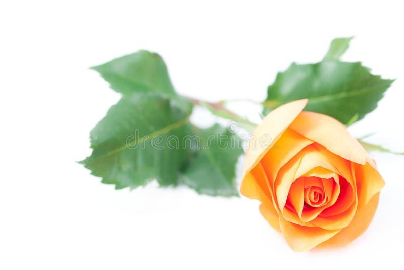 Роза апельсина на белизне стоковая фотография rf