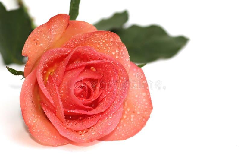 Роза апельсина с каплями росы стоковое фото