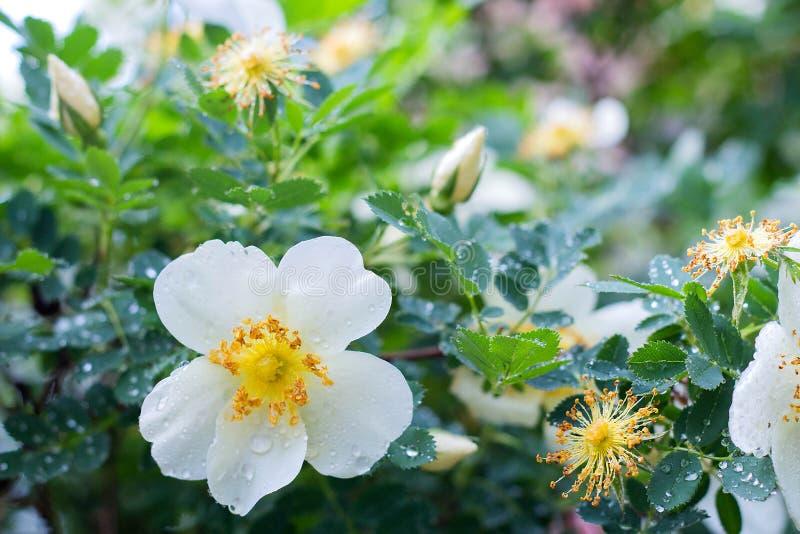 роза белого цветка дикая на предпосылке цветенй в саде, весеннего времени листьев, конца-вверх стоковое фото rf