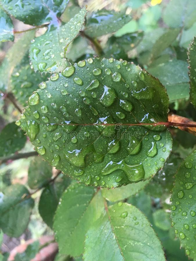 Роза выходит в падения дождя стоковое изображение