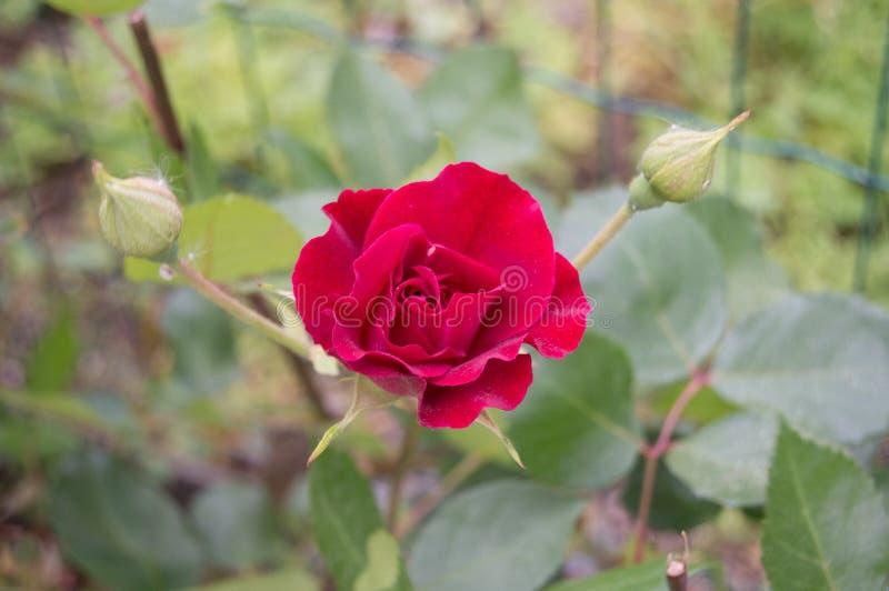 Роза в саде стоковое фото rf