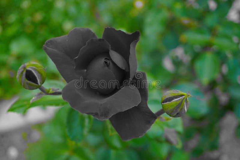 Роза в черной предпосылке, который держат в цвете стоковые фотографии rf