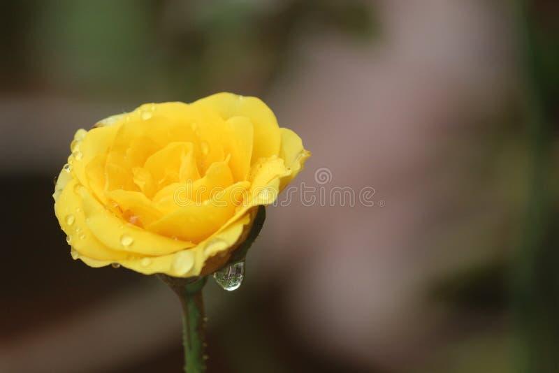 Роза желтого цвета в саде стоковая фотография