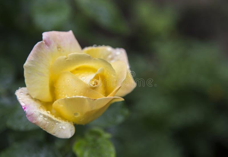 Роза желтого цвета с падениями после дождя стоковые изображения rf