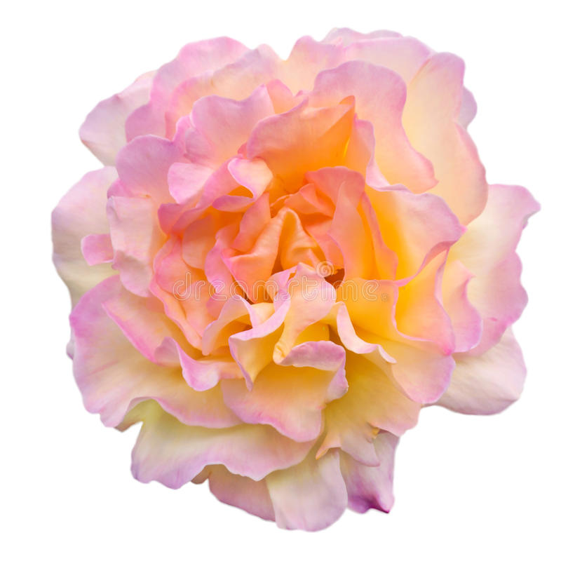 Роза желтого цвета и пинка изолированная на белизне стоковое фото