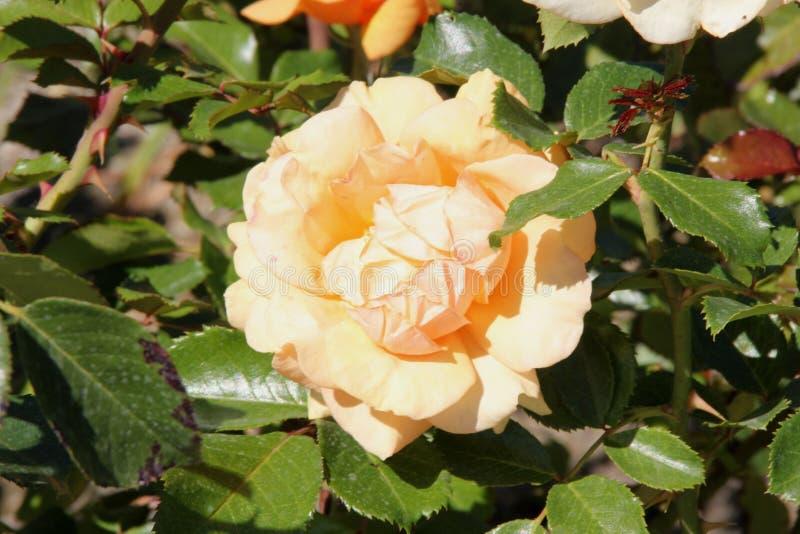 Роза 'зазубрина верхней части' стоковое изображение rf
