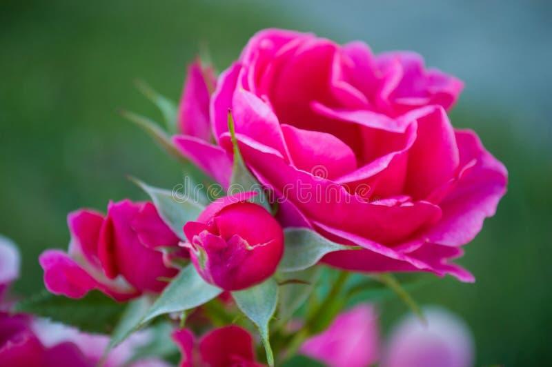 Роза зацвело весной в саде утра стоковые фото