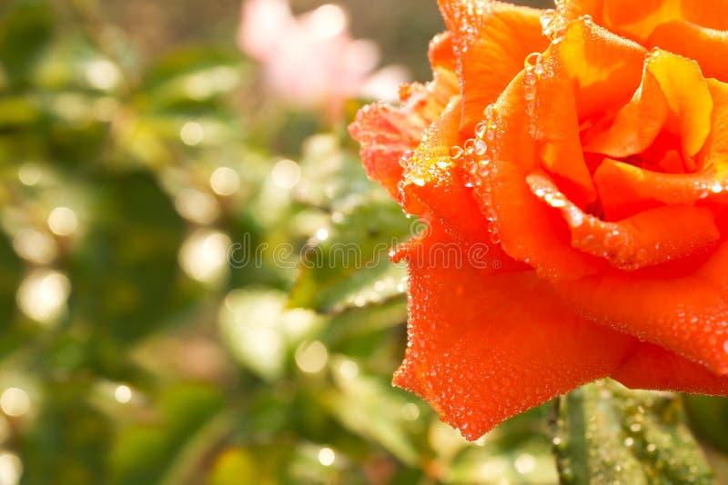Роза и роса апельсина стоковые фотографии rf