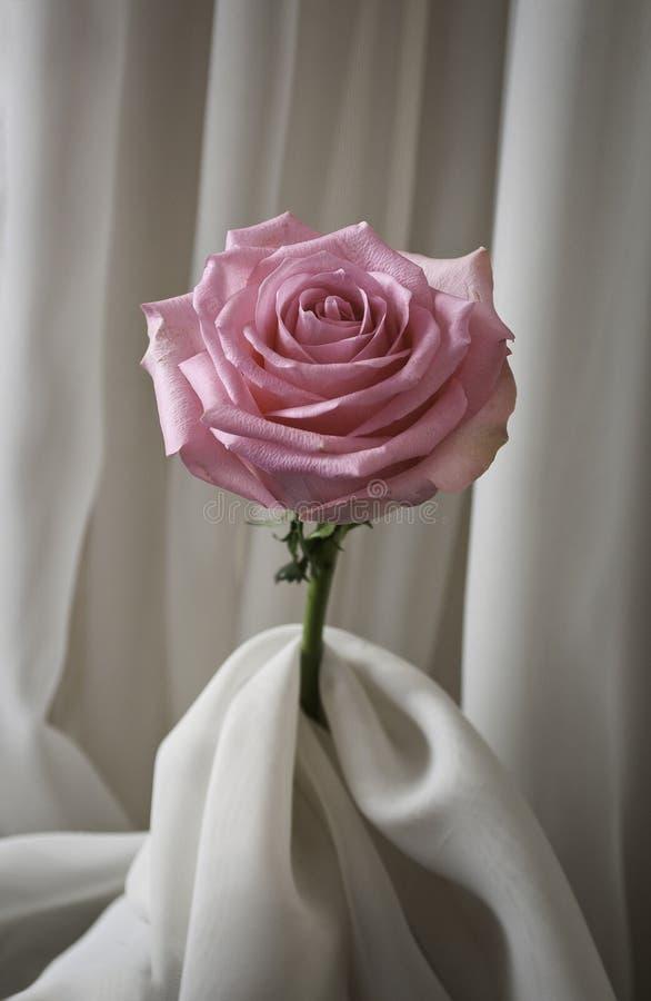 Роза и шелк пинка стоковая фотография