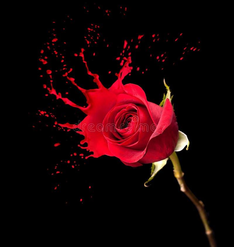 Роза красного цвета брызгает стоковое изображение
