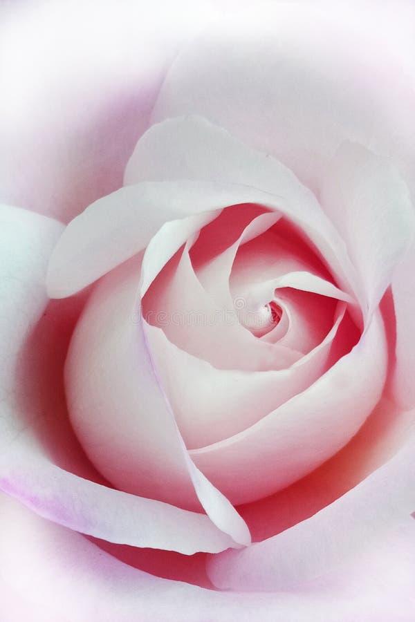 Роза красного цвета и белизны стоковое фото