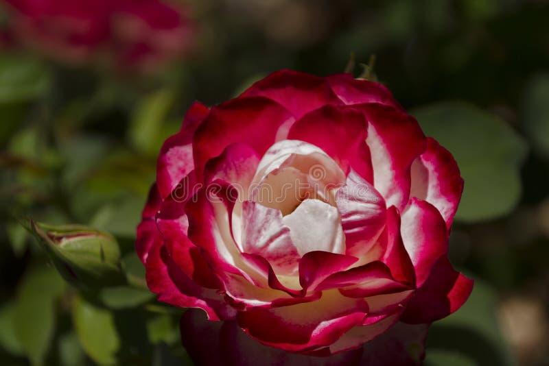 Роза красного цвета и белизны стоковое изображение rf